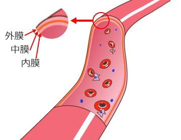 血管の構造