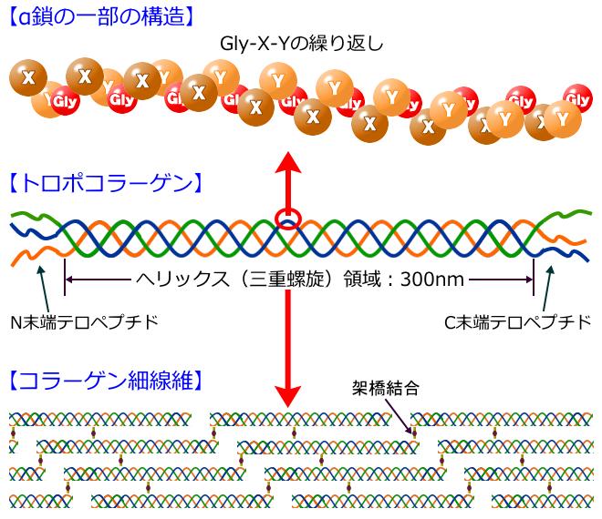 コラーゲンの分子構造