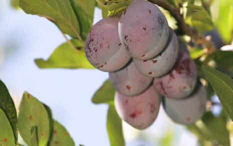 カリフォルニア産プルーンを100%使用